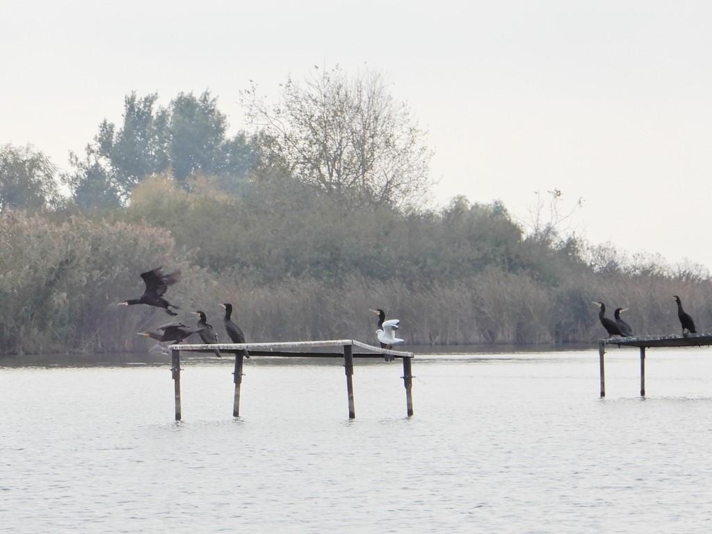 Kormorán gyérítés a Duna-ágon
